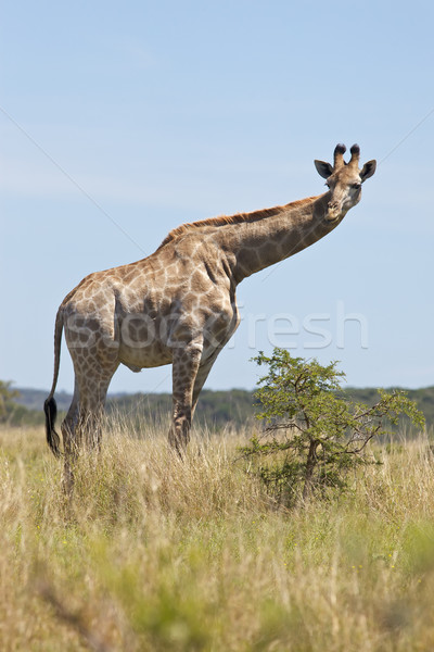 Young Giraffe Stock photo © zambezi