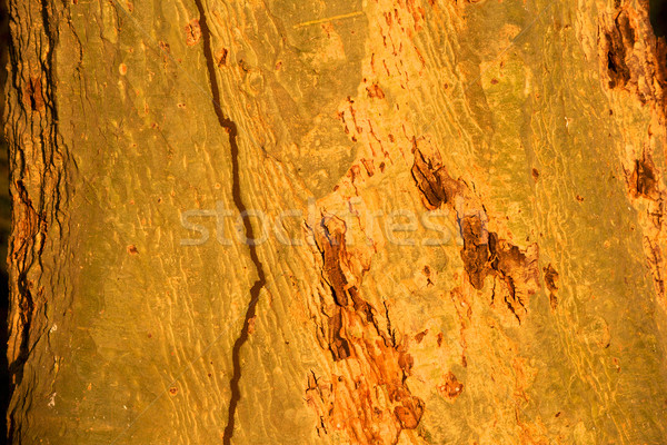 Fever Tree Stock photo © zambezi