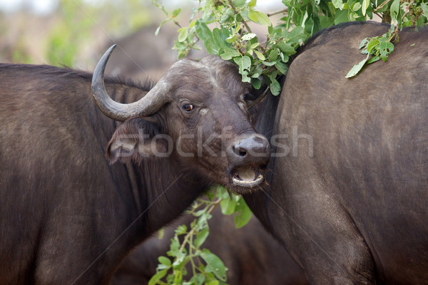 Buffalo Portrait Stock photo © zambezi