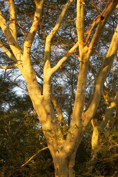Febbre albero crescita pan gioco riserva Foto d'archivio © zambezi