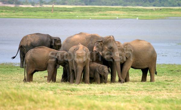 Sri Lankan Elephant Stock photo © zambezi