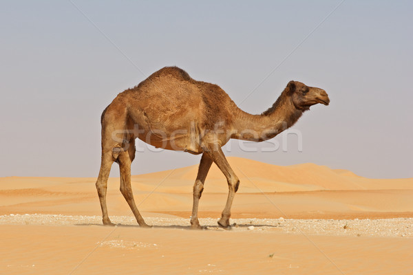 Stock photo: Empty Quarter Camel