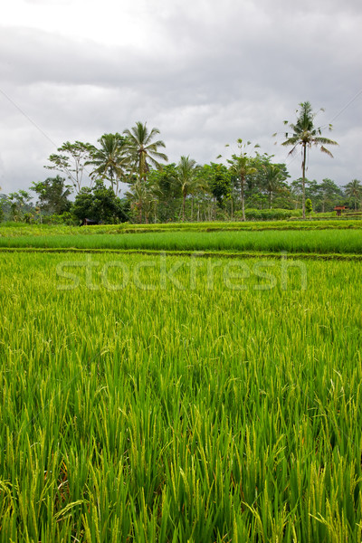 Rice Paddy Stock photo © zambezi
