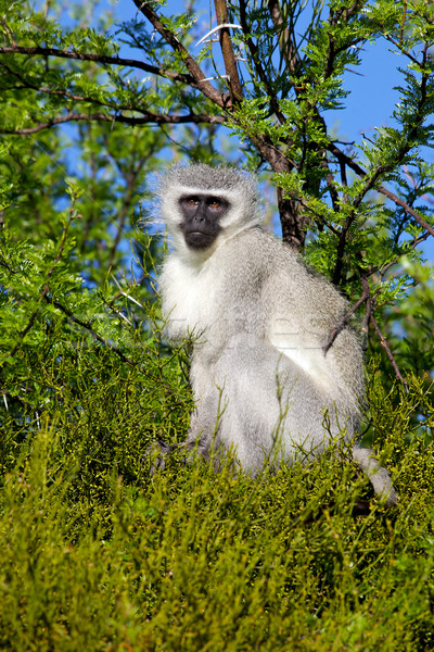 Vervet Monkey Stock photo © zambezi