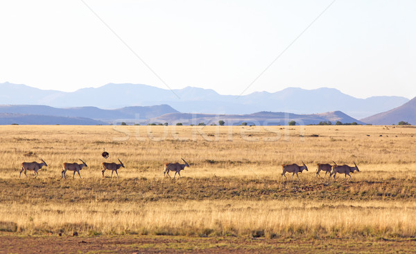 Eland Herd Stock photo © zambezi