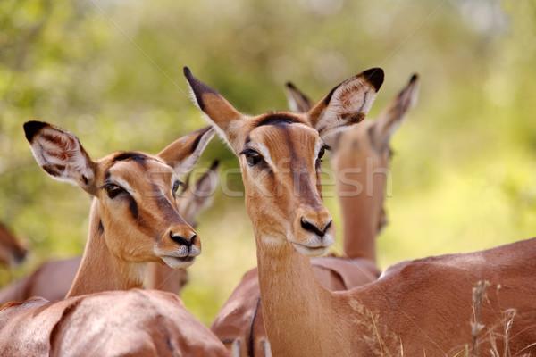 Impala Stock photo © zambezi