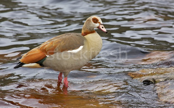 Egyptian Goose Stock photo © zambezi