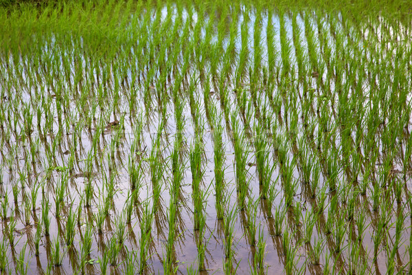 Rice Stock photo © zambezi