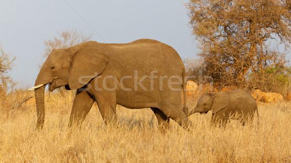 Elephant with Calf Stock photo © zambezi