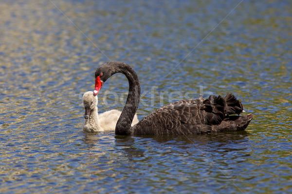 Black Swan Stock photo © zambezi