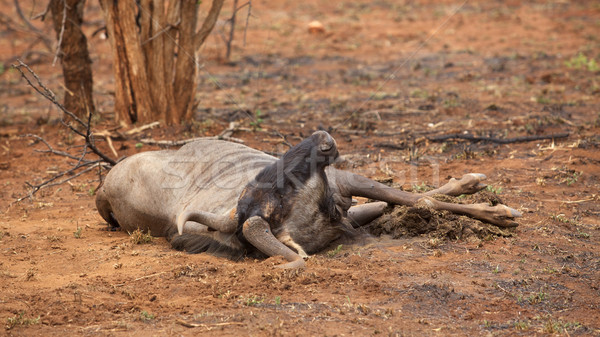 Wildebeest Carcass Stock photo © zambezi