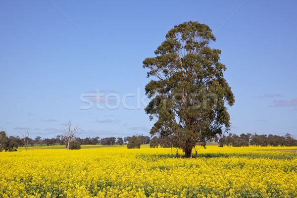 Rapeseed Field Stock photo © zambezi