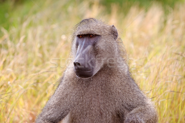 Chacma Baboon Stock photo © zambezi