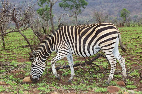 Plains Zebra Stock photo © zambezi