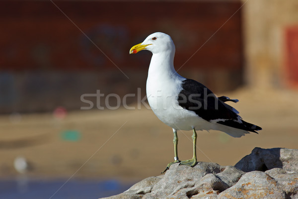 Kelp Gull Stock photo © zambezi