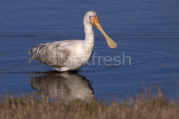 Yellow-billed Spoonbill Stock photo © zambezi