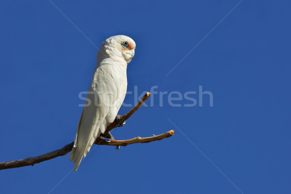 Little Corella Stock photo © zambezi