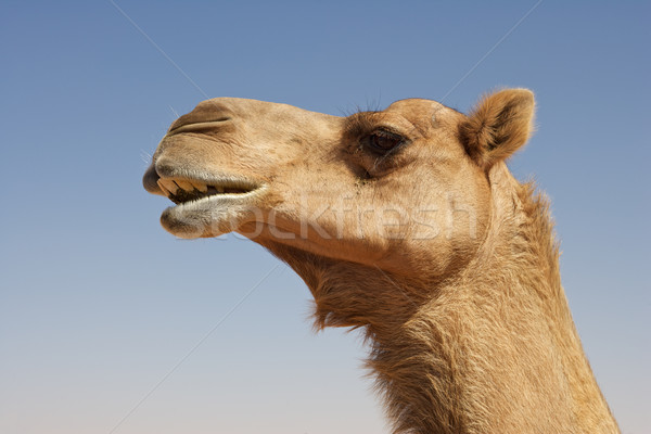 Camel Portrait Stock photo © zambezi
