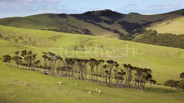 North Island Pasture Stock photo © zambezi