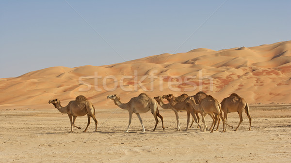 Empty Quarter Camels Stock photo © zambezi