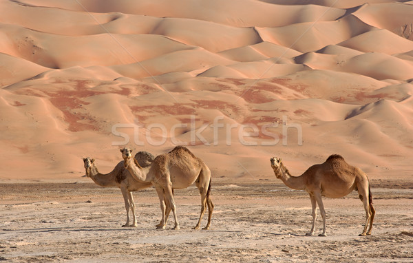 Vacío trimestre camellos Omán Arabia Saudita Yemen Foto stock © zambezi