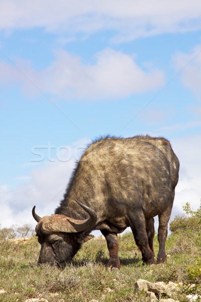 African Buffalo Stock photo © zambezi