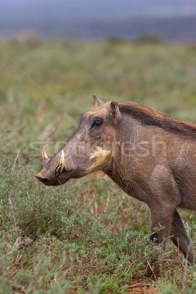 Warthog Portrait Stock photo © zambezi