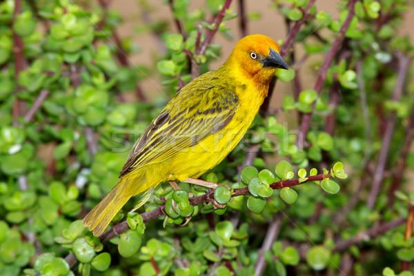 Cape Weaver Stock photo © zambezi
