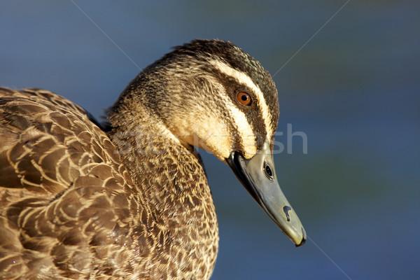 Pacific Black Duck Stock photo © zambezi