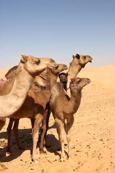 Camel Group Stock photo © zambezi