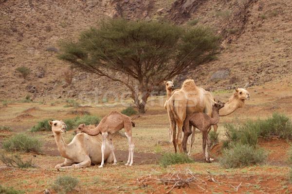 Camel Nursery Stock photo © zambezi