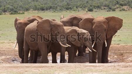 African Elephant Stock photo © zambezi
