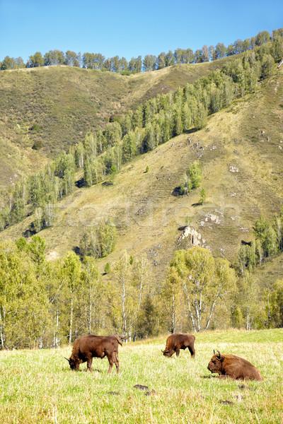 Europeu bisão naturalismo ambiente montanha verão Foto stock © zastavkin