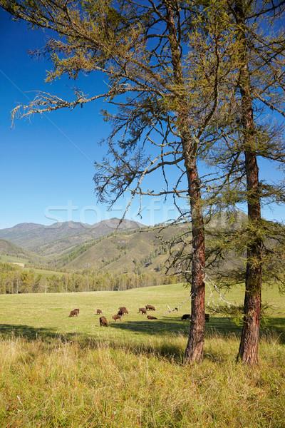 Európai bölény természetes környezet nyár kék Stock fotó © zastavkin