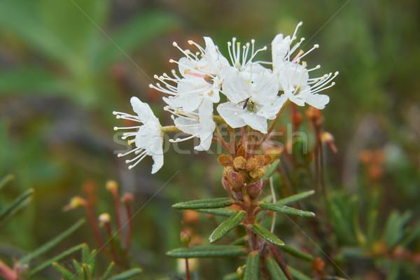 Flower wild rosemary - Ledum palustre in natural tundra environm Stock photo © zastavkin