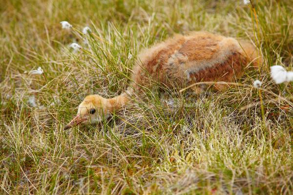 Chick gru grigio nascondere cotone erba Foto d'archivio © zastavkin