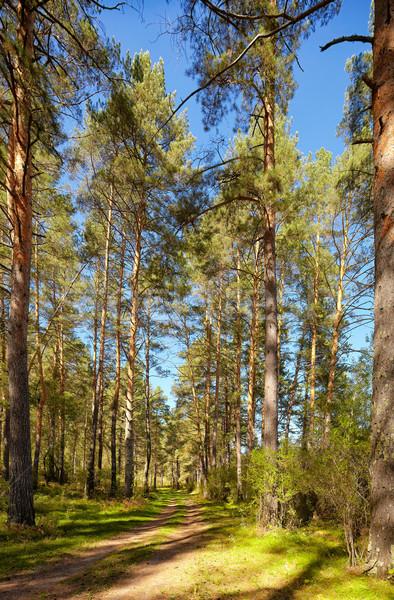Pinho floresta rio verão estrada verde Foto stock © zastavkin