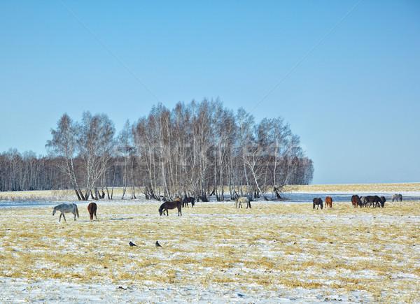 Paarden sneeuw veld kudde winter Stockfoto © zastavkin