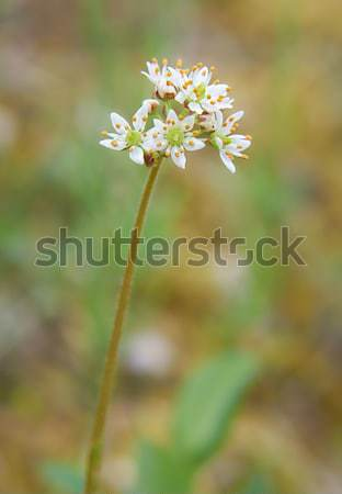Flower heartleaf saxifrage - Saxifraga nelsoniana in natural tun Stock photo © zastavkin