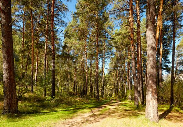 Altai pine forest Stock photo © zastavkin
