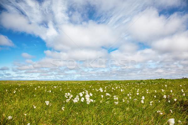 Cotton grass tundra  Stock photo © zastavkin