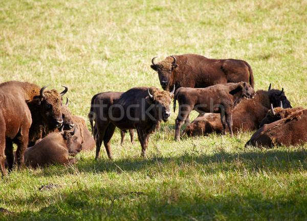 European bison  Stock photo © zastavkin