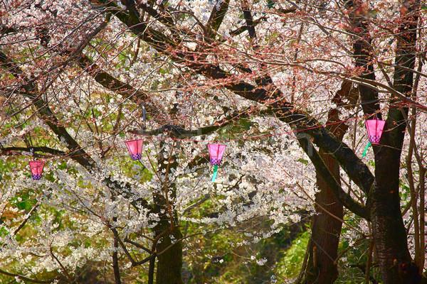 Sakura bloesem voorjaar japans bomen partij Stockfoto © zastavkin