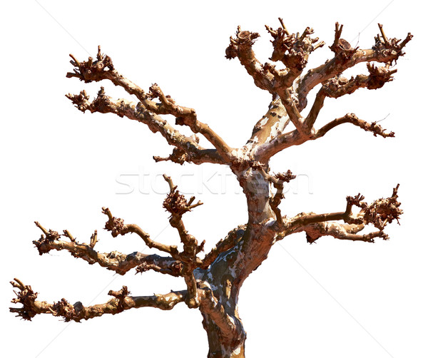 Dead tree Stock photo © zastavkin