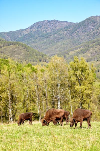Európai bölény természetes környezet hegy nyár Stock fotó © zastavkin