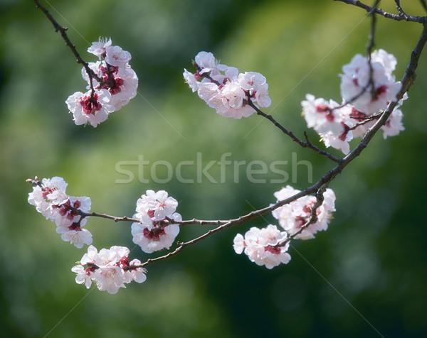 Sakura bloesem tak voorjaar japans groene Stockfoto © zastavkin