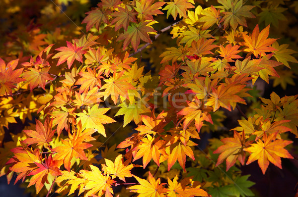 maple yellow leafs Stock photo © zastavkin