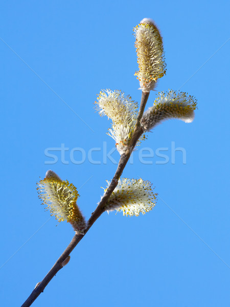 willow branch Stock photo © zastavkin