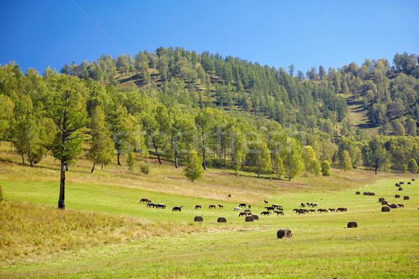 Herd of horses Stock photo © zastavkin