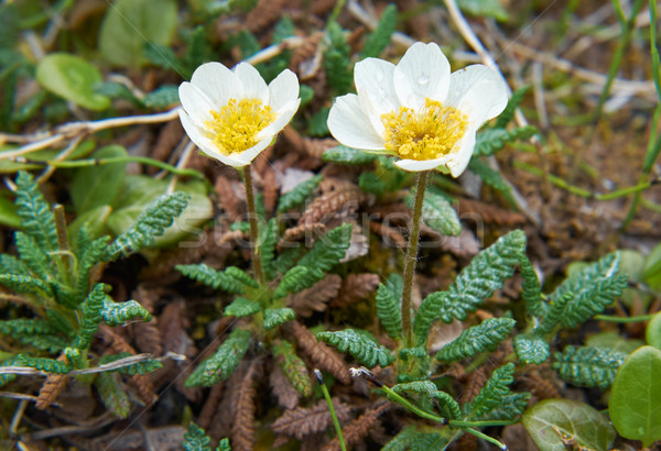 Flower Dryas punctata in natural tundra environment Stock photo © zastavkin